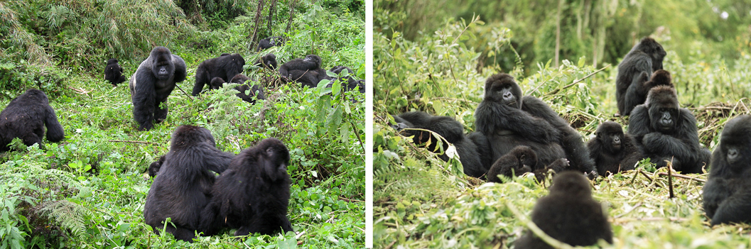 db291-gorilla-families-virunga-volcanoes-rwanda