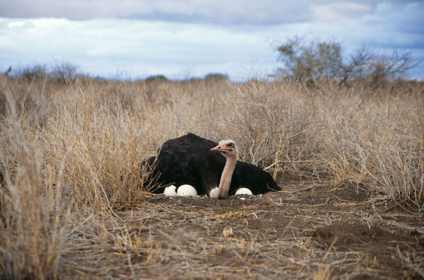 ostrich-male-nest-eggs-14172440