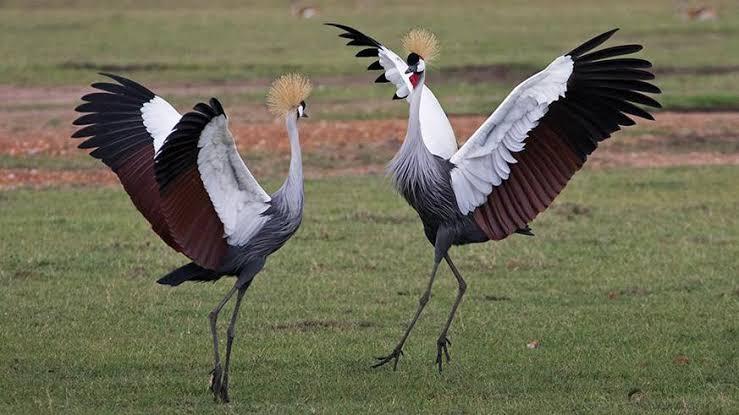grey crown cranes 2