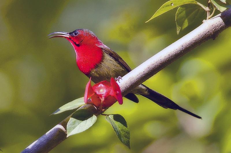 rwenzori red headed sunbird